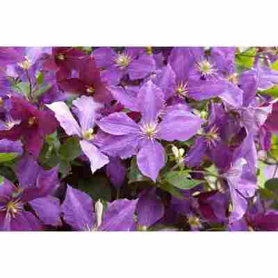 Clematis 'Dorothy Walton' violett 14 cm Topf