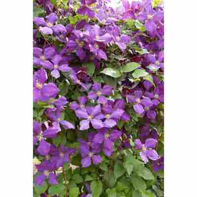 Clematis 'Polish Spirit' violett 14 cm Topf