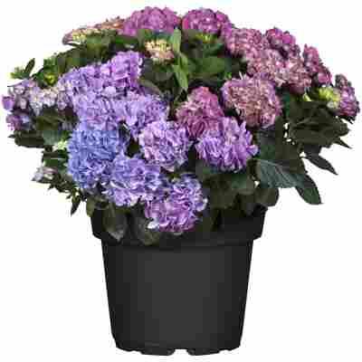 Hortensie mit 25+ Blüten verschiedene Farben 30 cm Topf