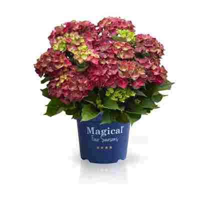 Hortensie 'Magical Ruby Tuesday®', Topf Ø 23 cm