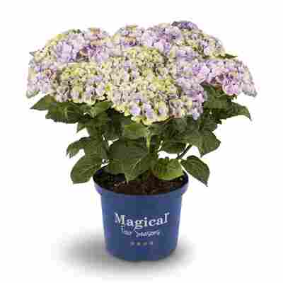 Hortensie 'Magical Amethyst® blau', Topf Ø 23 cm