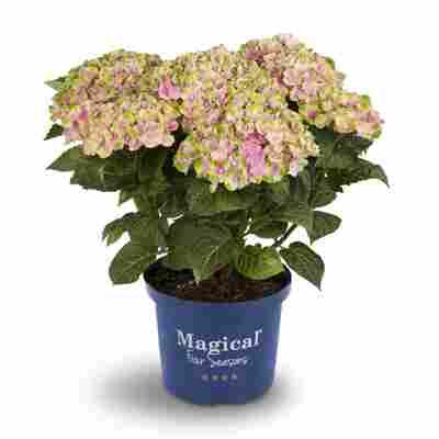 Hortensie 'Magical Amethyst® rosa', Topf Ø 23 cm