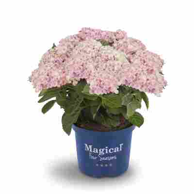 Hortensie 'Magical Revolution® rosa', Topf Ø 23 cm