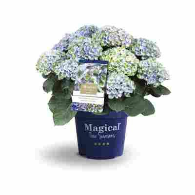 Hortensie 'Magical Revolution® blau', Topf Ø 23 cm