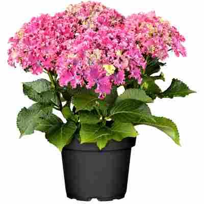 Hortensie 'Lovely Curly Sparkle®' pink, Topf Ø 23 cm