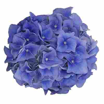 Hortensie 'Music Collection Blue Ballad®', Topf Ø 23 cm