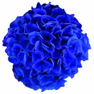 Hortensie 'Music Collection Blue Boogie Woogie®', Topf Ø 23 cm
