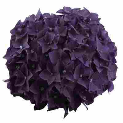 Hortensie 'Music Collection Deep Purple Dance®', Topf Ø 23 cm