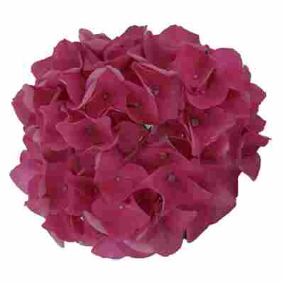 Hortensie 'Music Collection Pink Pop®', Topf Ø 23 cm