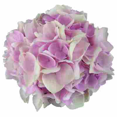 Hortensie 'Music Collection Soft Pink Salsa®', Topf Ø 23 cm