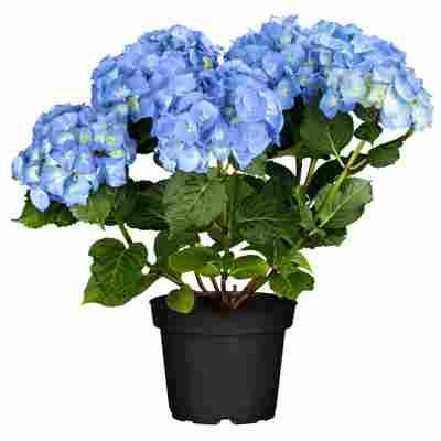 Hortensie 'Lovely Happy®' blau, Topf Ø 23 cm