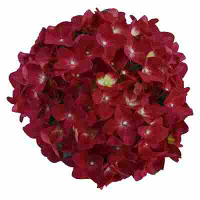 Hortensie 'Music Collection Red Reggea®', Topf Ø 23 cm
