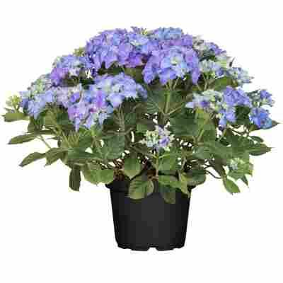 Hortensie 'Lovely Lady Mata Hari®' blau, Topf Ø 23 cm
