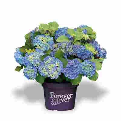 Hortensie 'Forever & Ever®' blau, Topf Ø 23 cm