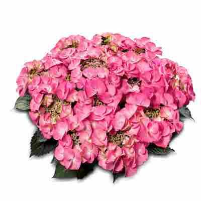 Hortensie Classic Tiffany®' rosa, Topf Ø 23 cm