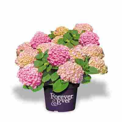 Hortensie 'Forever & Ever®' rosa, Topf Ø 23 cm