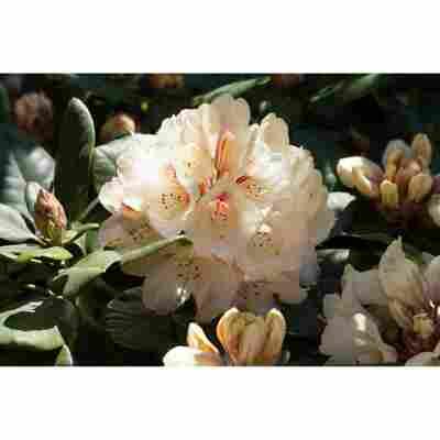 Zwerg-Rhododendron 'Inkarho'® weiß 23 cm Topf
