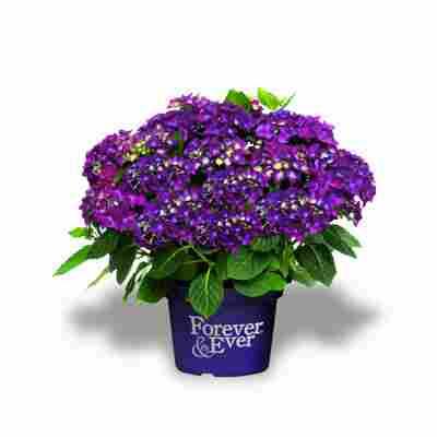 Hortensie 'Forever & Ever®' violett, Topf Ø 23 cm