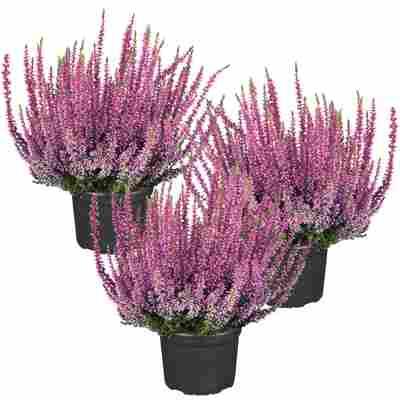 Knospenheide Gardengirls® pink 10,5 cm Topf, 3er-Set