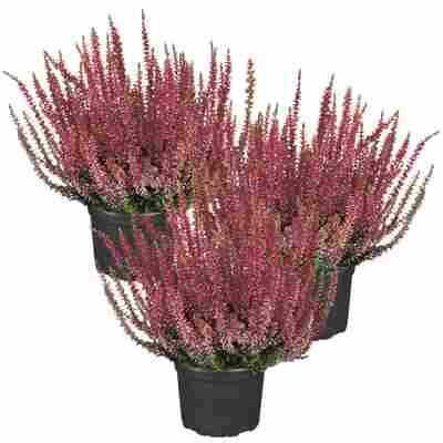 Knospenheide Gardengirls® rot 10,5 cm Topf, 3er-Set