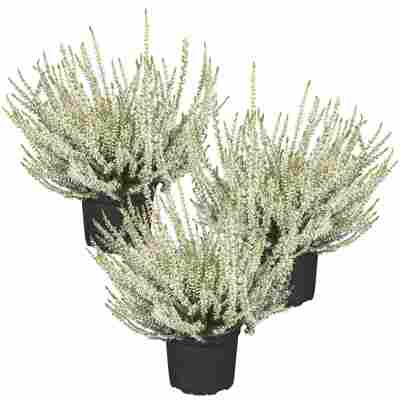Knospenheide Gardengirls® silberlaubig 10,5 cm Topf, 3er-Set