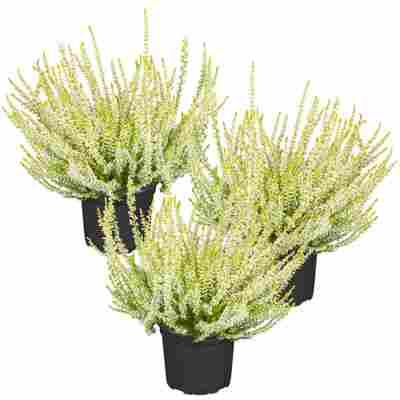 Knospenheide Gardengirls® gelblaubig 10,5 cm Topf, 3er-Set