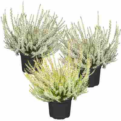 Knospenheide Gardengirls® Grüntöne sortiert 10,5 cm Topf, 3er-Set