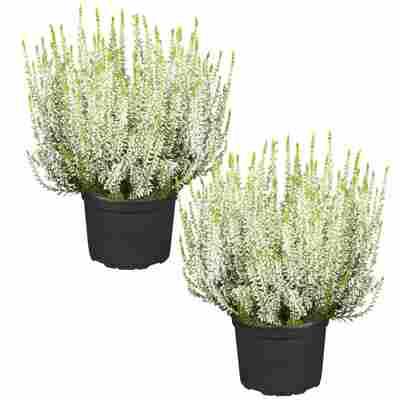Knospenheide 'Gardengirls®' weiß 12 cm Topf, 2er-Set