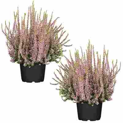 Knospenheide 'Gardengirls®' rosa 12 cm Topf, 2er-Set