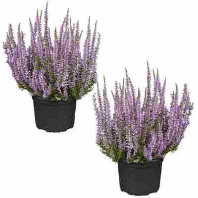 Knospenheide 'Gardengirls®' violett 12 cm Topf, 2er-Set