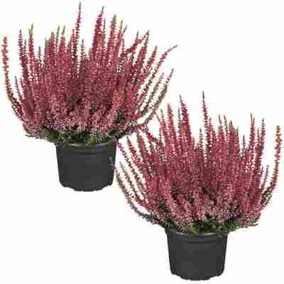 Knospenheide 'Gardengirls®' rot 12 cm Topf, 2er-Set