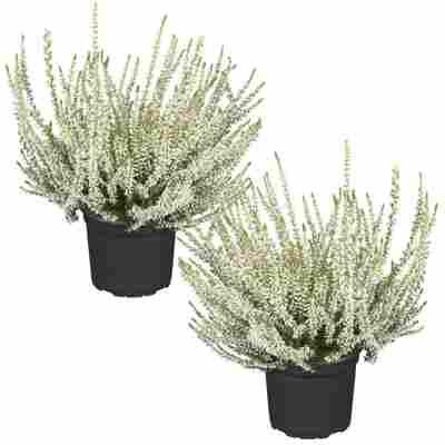 Knospenheide 'Gardengirls®' silberlaubig 12 cm Topf, 2er-Set
