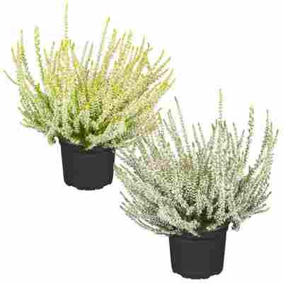 Knospenheide Gardengirls® Grüntöne sortiert 12 cm Topf, 2er-Set