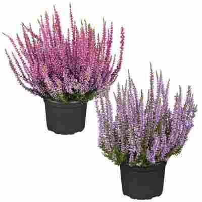Knospenheide Gardengirls® Pinktöne sortiert 12 cm Topf, 2er-Set