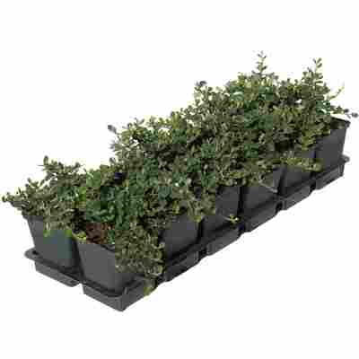 Zwergmispel 'Frieders Evergreen' weiß 9 cm Topf, 12er-Set