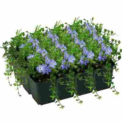 Kleinblättriges Immergrün 'Marie' violett 9 cm Topf, 12er-Set