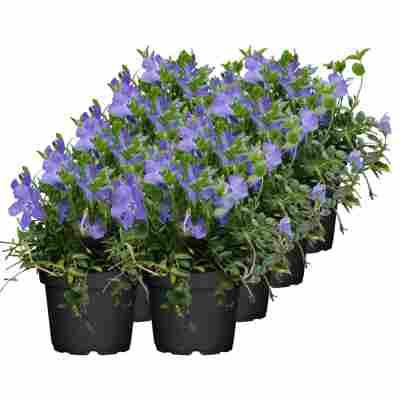 Kleinblättriges Immergrün 'Marie' violett 13 cm Topf, 8er-Set