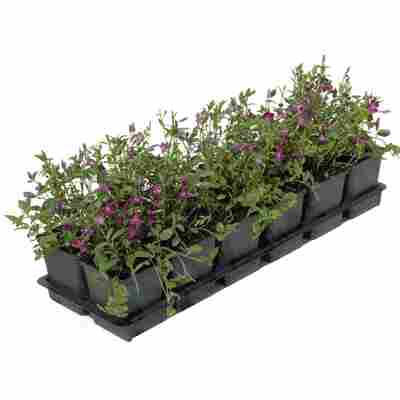 Kleinblättriges Immergrün 'Atropurpurea' violett 9 cm Topf, 12er-Set