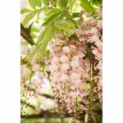 Japanischer Blauregen 'Rosea' rosa 14 cm Topf