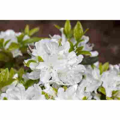 Japanische Azalee 'Adonis' weiß 21 cm Topf