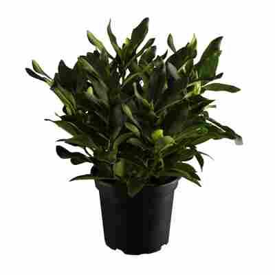 Rhododendron 'Cunninghams' weiß 21 cm Topf