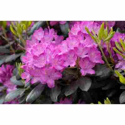 Rhododendron 'Roseum Elegans' rosa 21 cm Topf