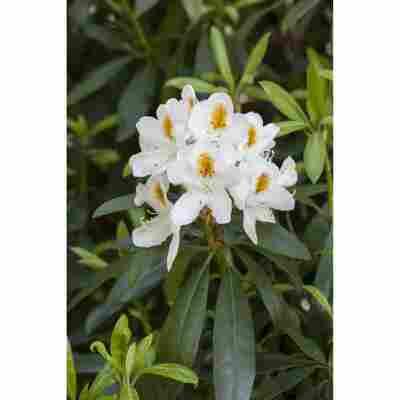 Rhododendron 'Jolly Madame' weiß 23 cm Topf