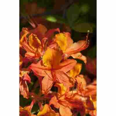 Laubabwerfende Azalee 'Klondyke' gelb 23 cm Topf