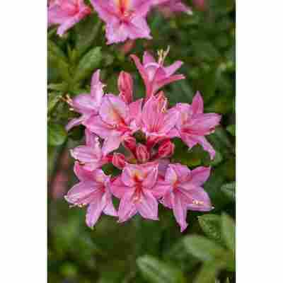Laubabwerfende Azalee 'Jolly Madame' rosa 23 cm Topf