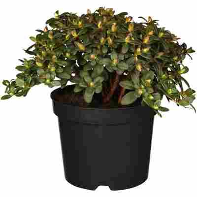 Zwerg-Rhododendron 'Wren' gelb 17 cm Topf