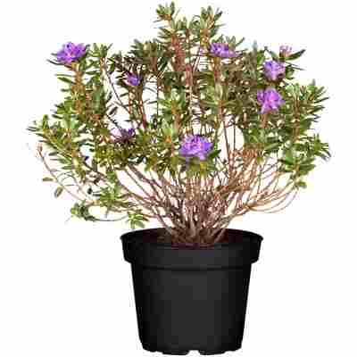 Zwerg-Rhododendron 'Azurika' violett/blau 17 cm Topf