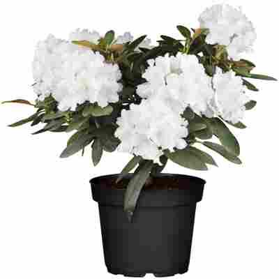 Rhododendron 'Schneekrone' weiß 24 cm Topf