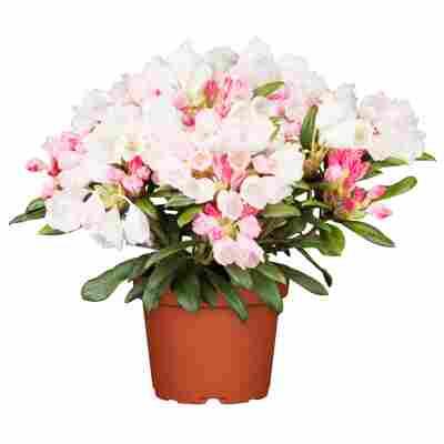 Rhododendron 'Dreamland' rot 24 cm Topf