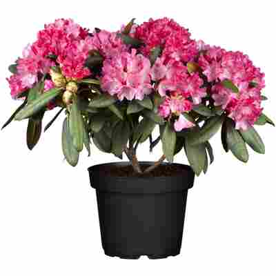 Rhododendron 'Morgenrot' rot 24 cm Topf